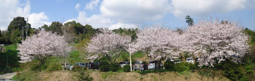 駐車場桜-2